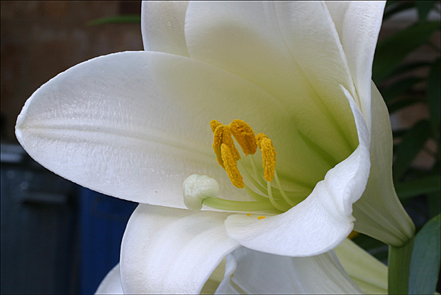 White America 2 - Lily