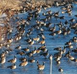 Geese on a Frozen Pond III