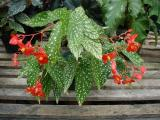 Begonia California Dreamin