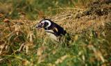 Pinguino