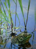 1. Bullfrog 39 x 29