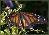 fostered Monarch II