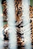 Onça Amazonian Jaguar in the Manaus Zoo