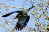 Kruger Park - Lilac Breasted Roller