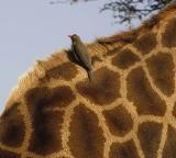 Kruger Park - Redbilled Oxpecker on Giraffe