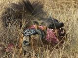 Tau - Brown Hyena feeding on baby giraffe