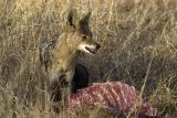 Tau - Jackal on baby giraffe kill