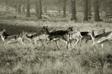 Deer running wild, on a winters day in the Richmond Park