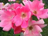 rose007.jpg