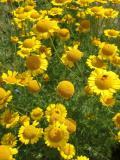 fiori del Queyras.JPG