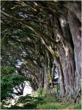 A row of Macrocarpa Trees in Ohariu Valley
