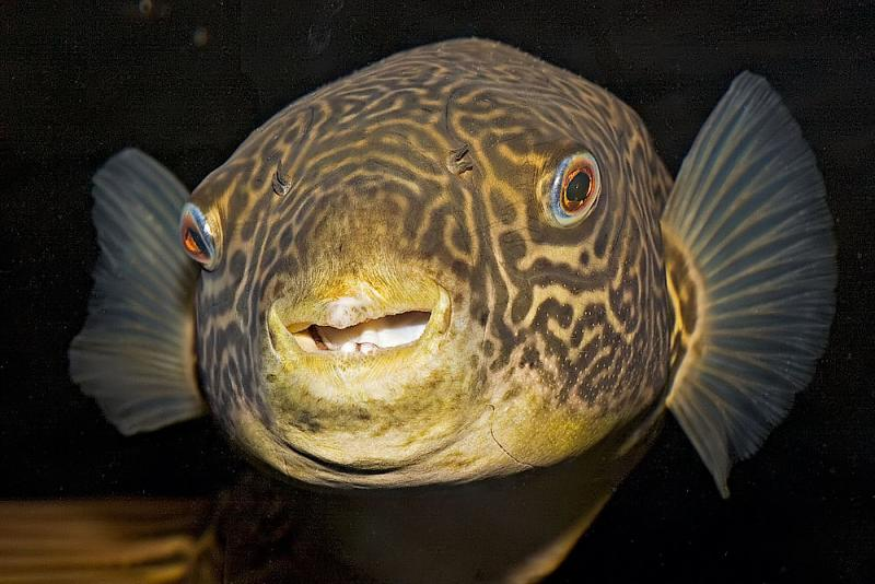 20d fish pics for Giant puffer fish
