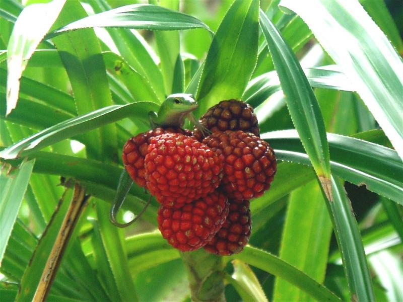 A little tree lizard  - Madang Resort