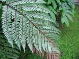 Silver fern, New Zealand's icon, underside view