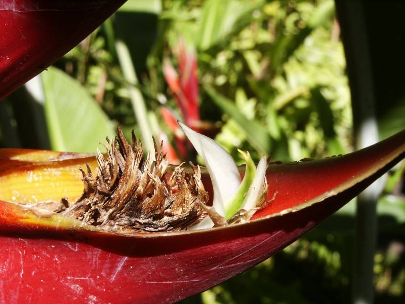 Peeking out from red Heliconia