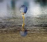 Egret from behind