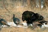 Turkey Fight.jpg