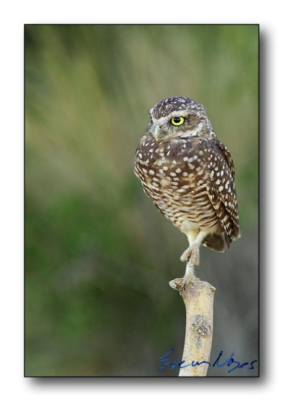 Burrowing Owl : Week 6