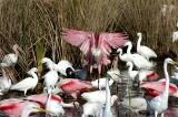 176 Roseate Spoonbill Landing with Egrets and Ibis