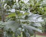 Summer Rain on the Leaves