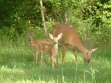 2004_0801_Mother and Fawns