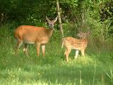 2004_0801_Mother and Fawn 2