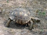 Berlandier's Tortoise - Gopherus berlandieri