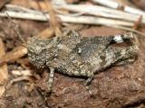 Trimerotropis verruculata