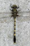 Common Sanddragon - Progomphus obscurus