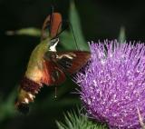 7853 -- Hummingbird Clearwing Moth -- Hemaris thysbe