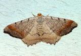6340 -- Minor Angle Moth -- Macaria minorata