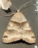 8739 -- Forage Looper Moth -- Caenurgina erechtea