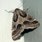 11135 -- Ragweed Flower Moth -- Schinia rivulosa