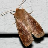 10487 -- Ruby Quaker Moth -- Orthosia rubescens
