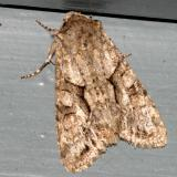 10518 - Distinct Quaker -  Achatia distincta