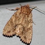 10521 -- Confused Woodgrain Moth -- Morrisonia confusa
