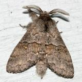 7933 - Four-spotted Gluphisia Moth - Gluphisia avimacula