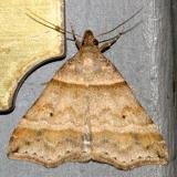 8338 -- Dark-banded Owlet Moth -- Phalaenophana pyramusalis