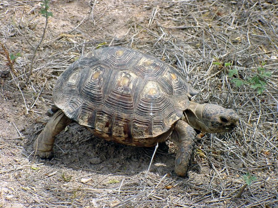 Berlandiers Tortoise - Gopherus berlandieri