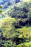 rice terraces in Sikkim.jpg