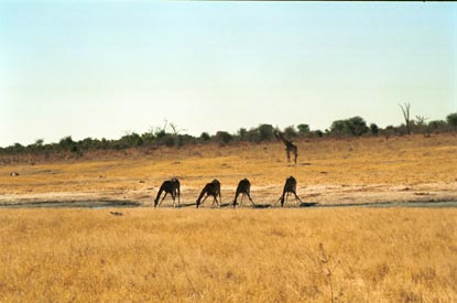 4 giraffes drinking.jpg