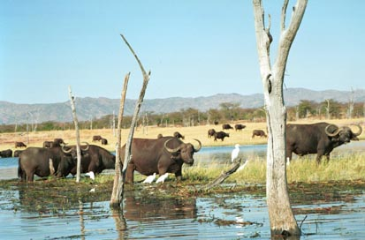 cape buffalo drinking.jpg