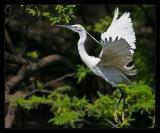 Egret Flying March 2005