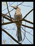 Indian Grey Hornbill 01 March 2005