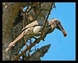 Indian Grey Hornbill 02 March 2005