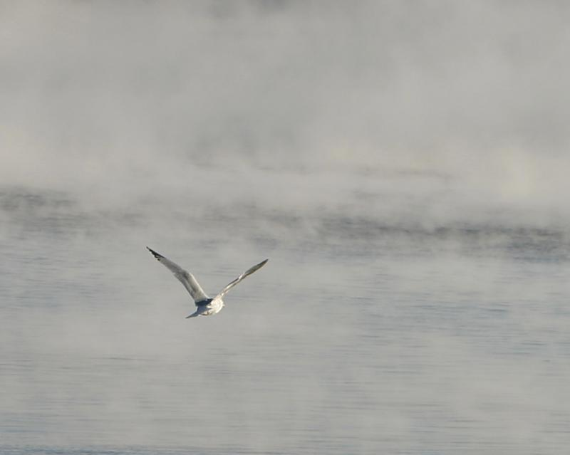 -10 degrees - Solo gull in the steam