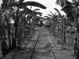 thru banana plants, estrada,capas, tarlac