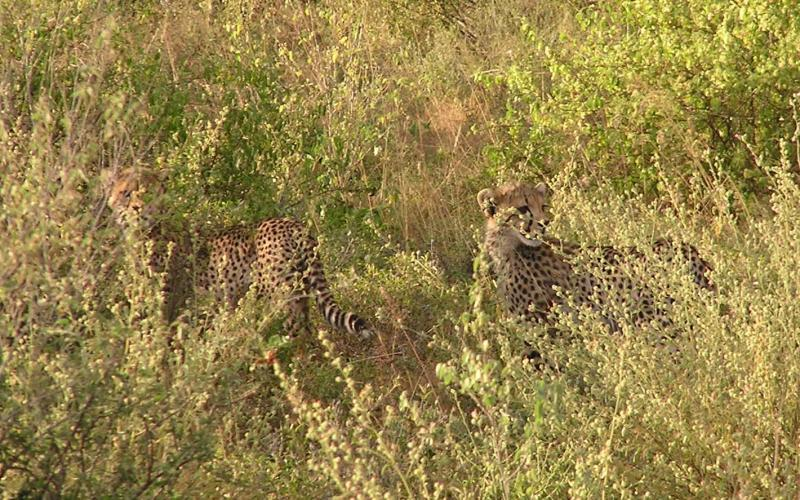 cheetah cubs looking our way