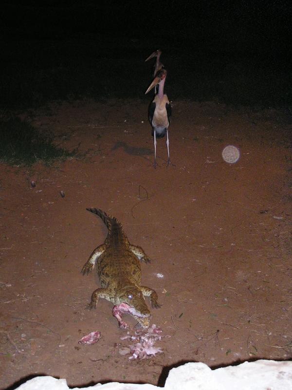 crock feeding time as the storks wait for the leftovers.JPG