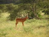 Antelope - Samburu